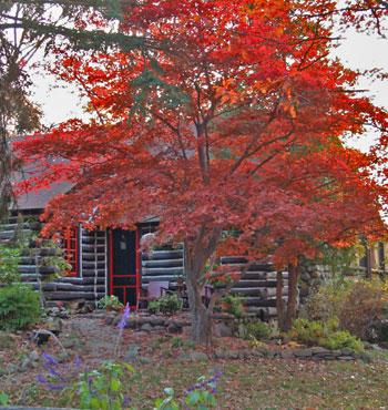 Beautiful Japanese Red Maple Tree Bloodgood
