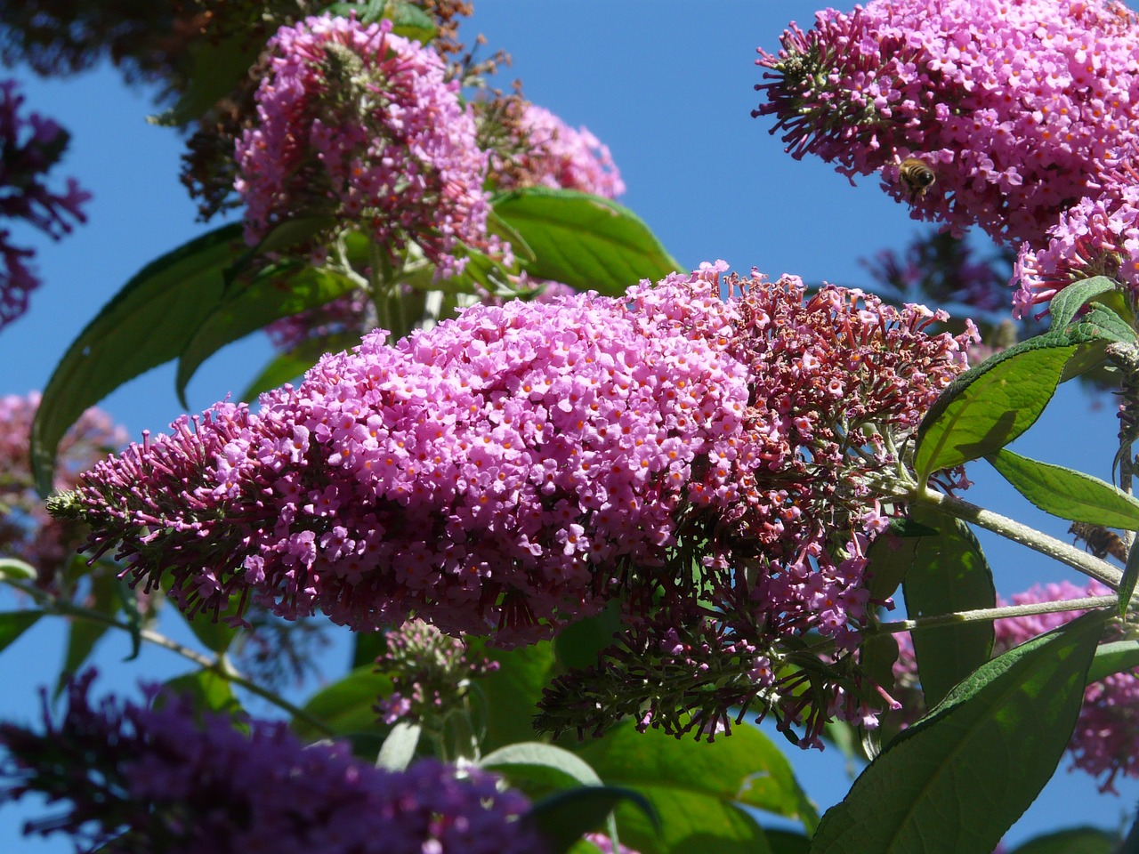 Butterfly Bush in full flower.