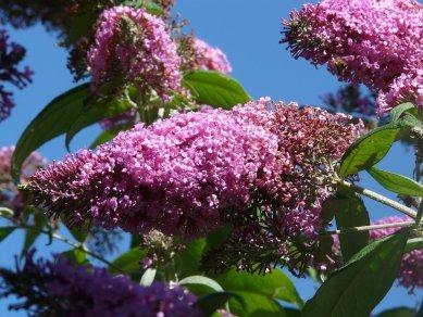 Butterfly Bush in full flower.