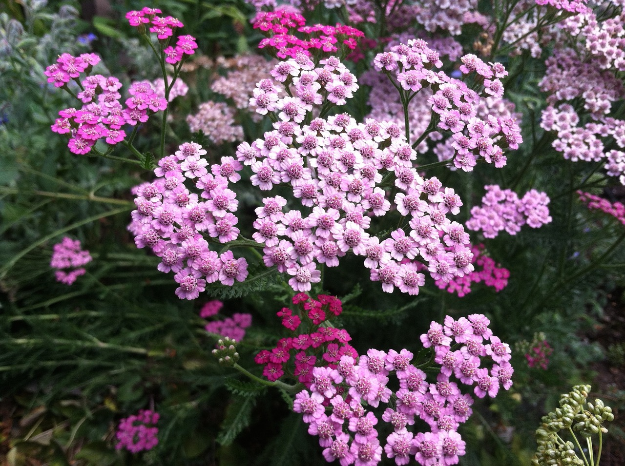 Yarrow is very drought tolerant.