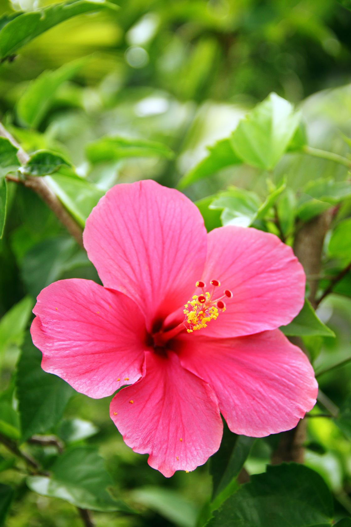Hibiscus perennial is a nice larger addition to the garden.