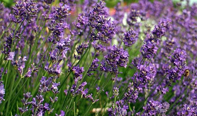 Lavender as a low maintenance perennial.