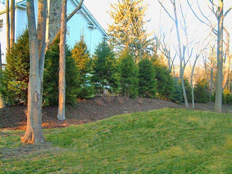 Norway Spruce for screening set on a berm.