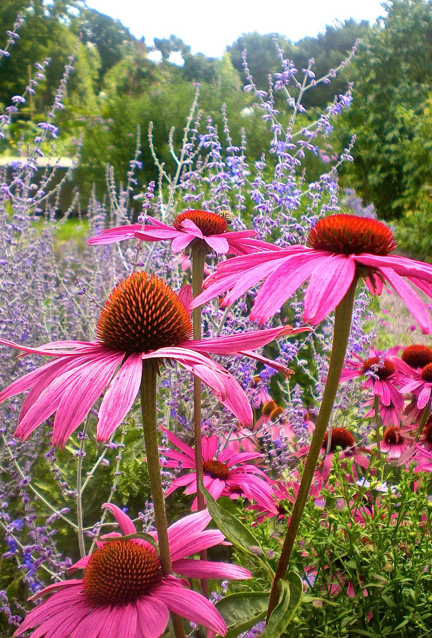 Beautiful Coneflower.
