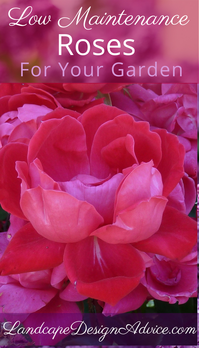 Beautiful, low maintenance roses for the garden.