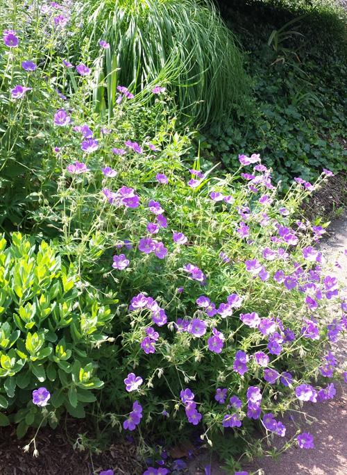 A beautiful perennial called Geranium 'Johnson's Blue'.