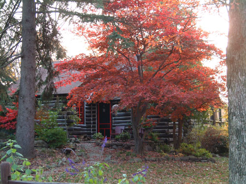Fall color with Japanese Maples.