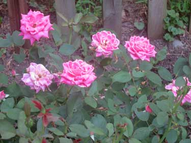 This Knock Out rose is very carefree.