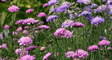Discover the best long blooming perennials this is a perennial with either pink or purple flowers that blooms on and off the entire season just pinch off the spent blooms and more buds will flower mightylinksfo