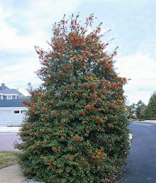 The American Holly is a broad leaf evergreen tree.