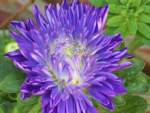 Asters bloom in the fall.