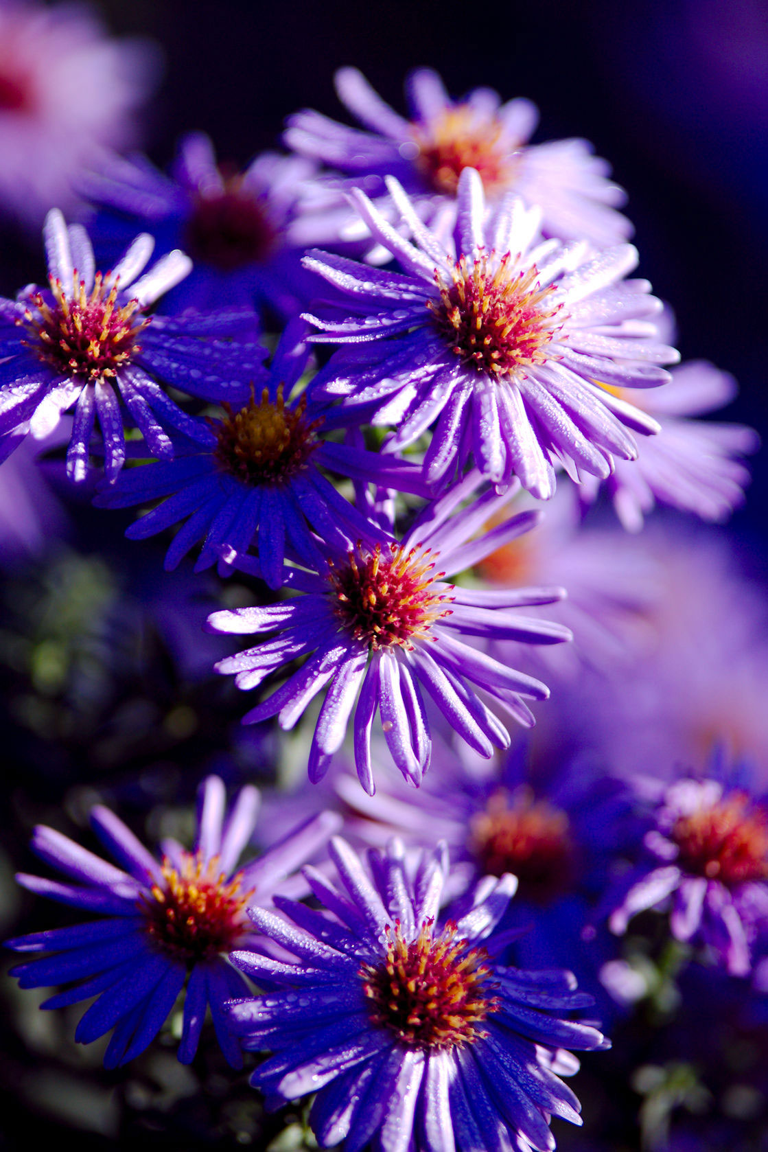 Aster for fall flowers.