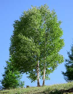 birch tree asian singles Scientific name: betula lenta north american birch is extracted from the fragrant inner bark and twigs of the tree birch oil is the real source of 'oil of wintergreen' essential oil, used in chewing gum, breath mints and many quality medicinal products.