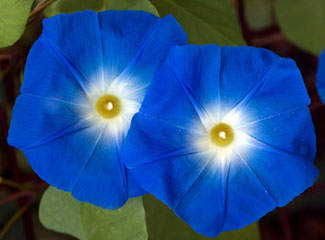 Morning Glory is an annual vine.