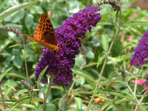 Butterflies flock to this perennial.