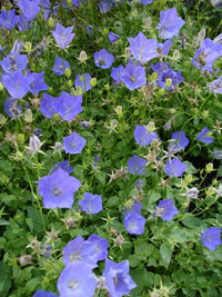 Discover top shade perennials i really like this plantinly due to the blue flowers there are many different types of these shade perennials mightylinksfo