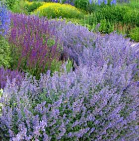 Catmint perennial flowers are a lovely purple.
