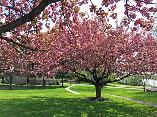 Árboles con flores - Payless Hardware, Rockery & Nursery