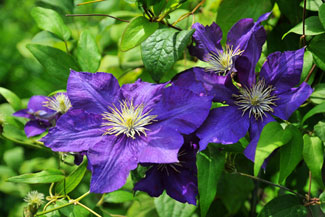 Discover great flowering vine plants plant some low perennials or groundcover at the base of these plants one of my favorite clematis is jackmani mightylinksfo