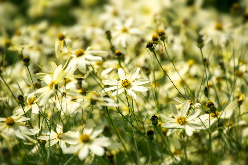 Coreopsis Moonbeam is a nice pale yellow perennial.