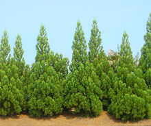 Which are the best evergreen trees