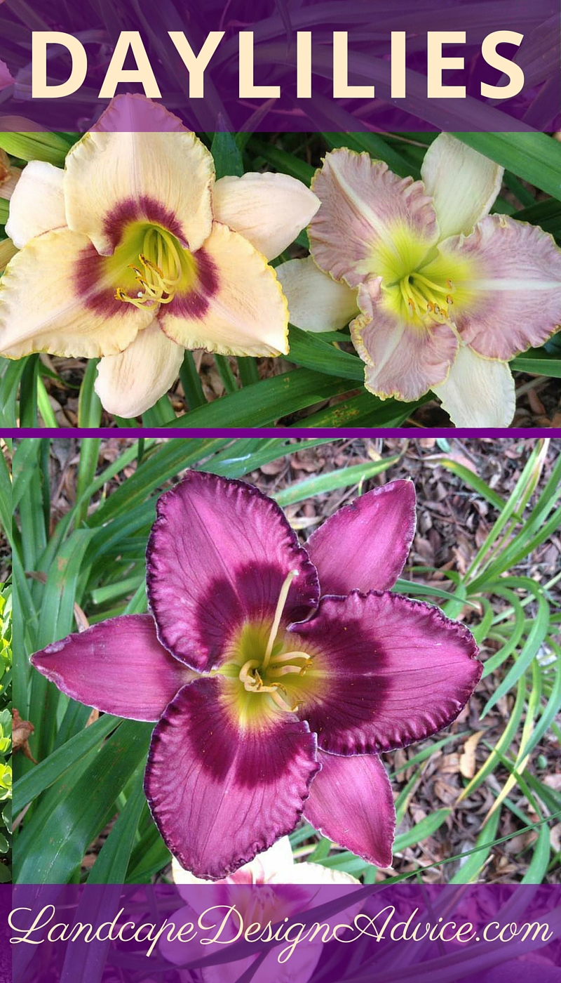 Daylilies For Summer Color And The Sun.