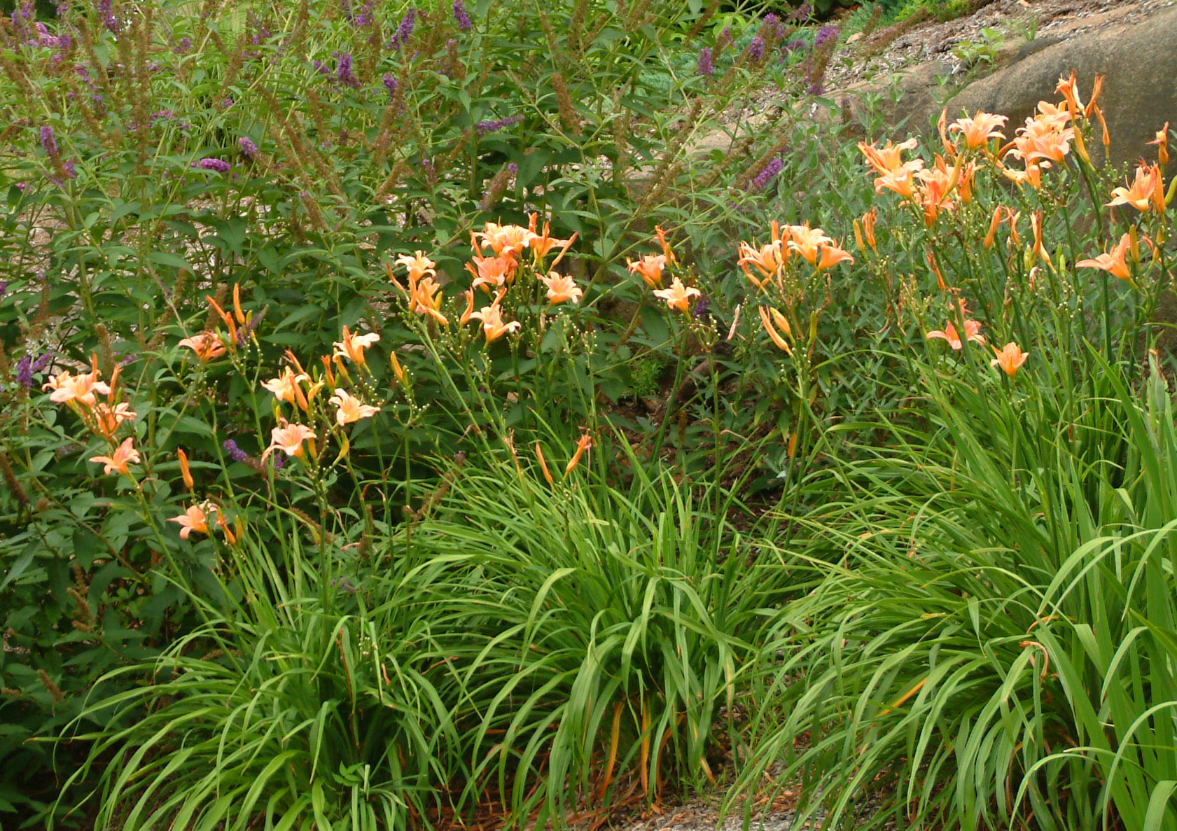 Daylily. Perennial for the sun.