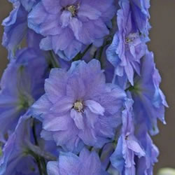 Delphinium are used for English Gardens.