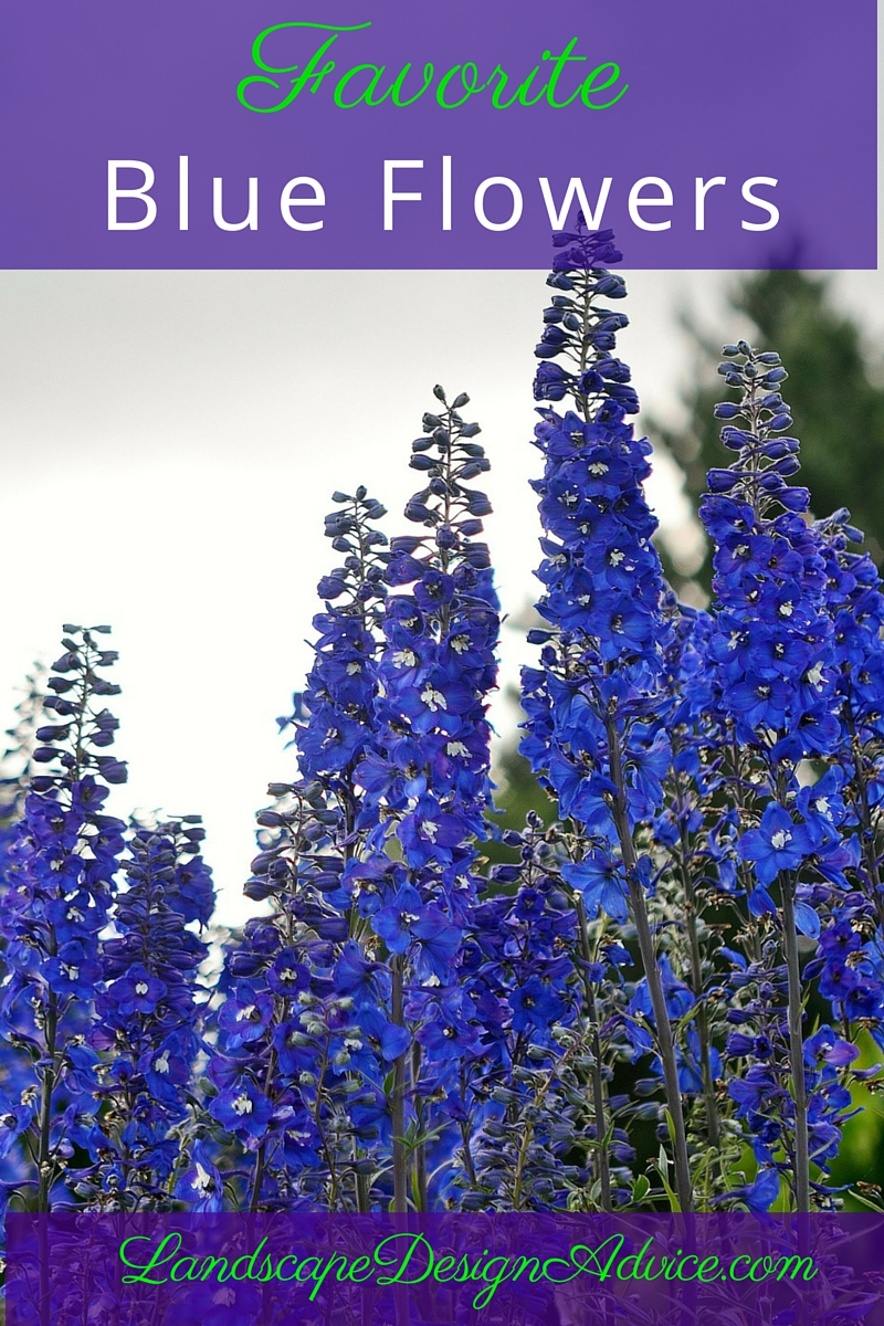 Delphinium is an old fashioned perennial.