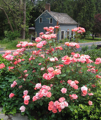 Here is a very easy rose to grow.