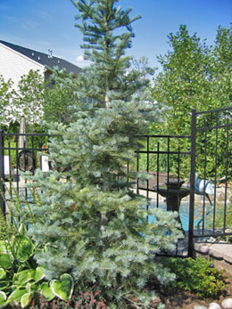 Types of evergreen trees for Accent tree for corner of house