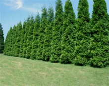 Green Giant Arborvitae show as screening a property.