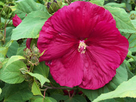Hibiscus flower - very showy!