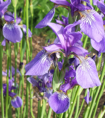 Japanese Iris is beautiful while flowering but afterwards too.