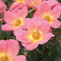 Knockout Roses are low maintenance.