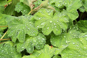 Lady's Mantle is a perennial for great foliage.