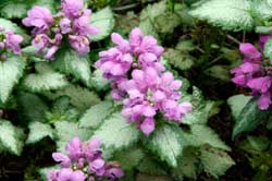Lamium Perennial for the Shade