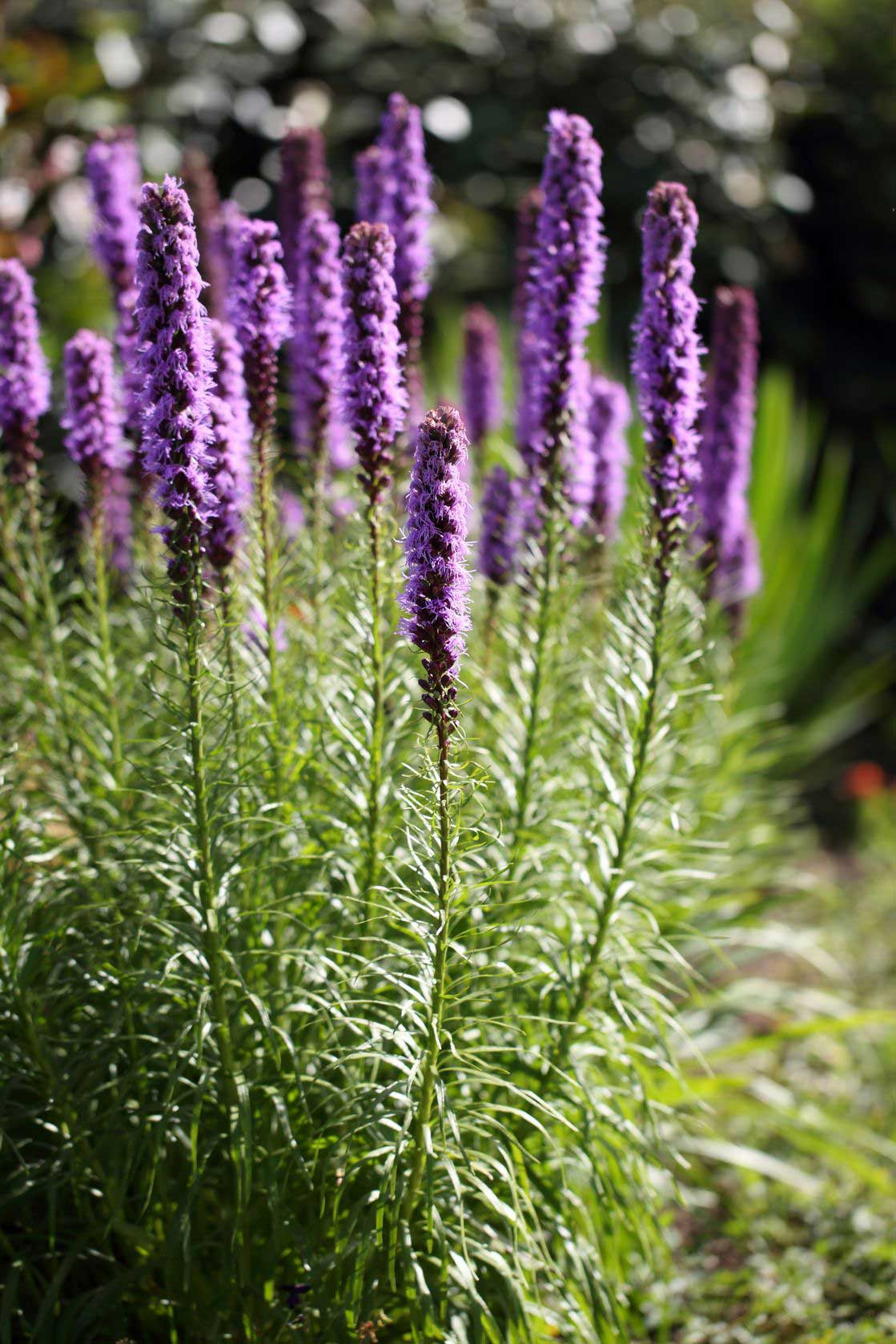 Liatris is a sun loving perennial with nice vertical flowers.