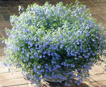 Blue Flowers Perennials And Annuals