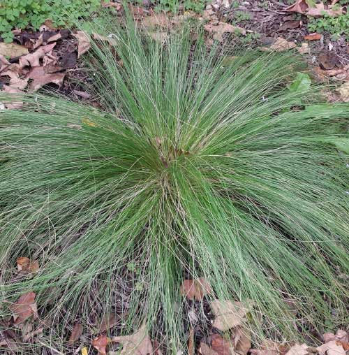 Discover great ornamental grasses for Ornamental feather grass