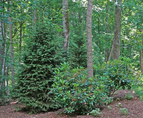 Spruce and Rhododendron