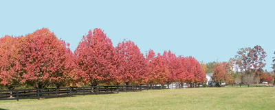 Pears make great shade trees.