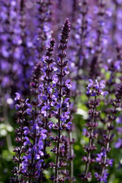 Great purple perennials salvia is a plant of medium height its spikes of perennial flowers last for s few weeks if you remove the spent flowers it will cause more to come mightylinksfo