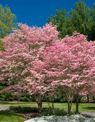 Beautiful Dogwood Trees Types And Uses
