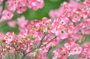 Pink Dogwood tree.