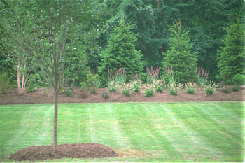 Evergreen trees with perennials in front.