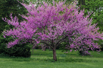 Pink flowering trees its flowers appear before the leaves it is a native tree and has very pretty heart shaped leaves there is also a variety with mahogany colored mightylinksfo