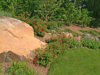 roses and boulders on a slope