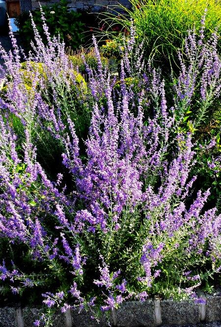 Russian Sage Perennial