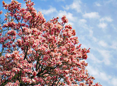 Pink Flowering Trees Top Choices For Your Landscape